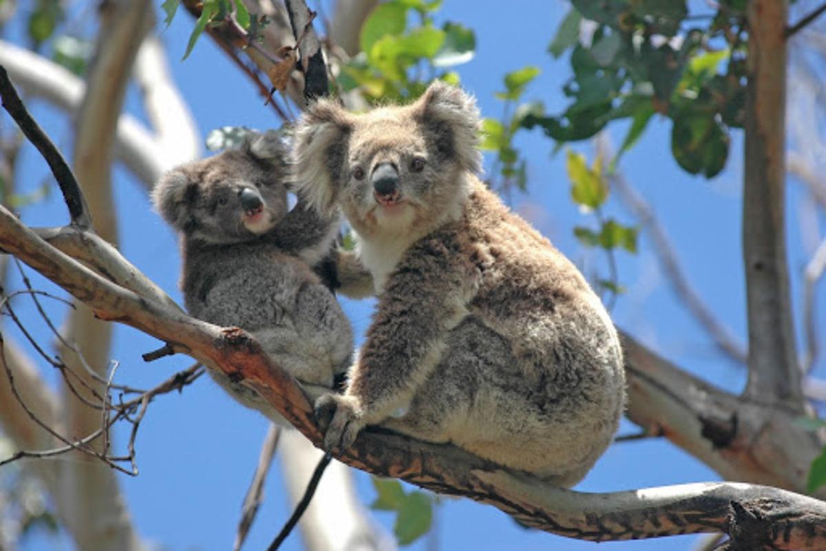 コアラ 2匹 木